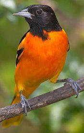 black and orange bird | Baltimore Oriole: Bird of the Month - Smithsonian Migratory Bird ...   Just saw a whole Bunch of these in the tree outside! 6 all together! 5 boys and a girl! Never seen a female before!: Baltimore Oriole Had, Bird List, Oriole Bir
