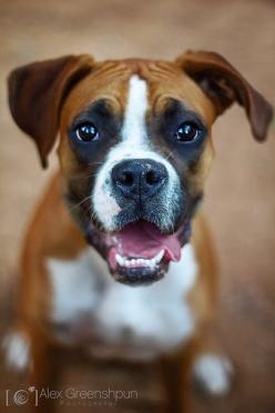 Boxer - I can only think this is what rocky looked like as a puppy!: Boxer Pup, Boxer Dogs, Happy Face, Puppy, Boxers, Things, Boy, Animal