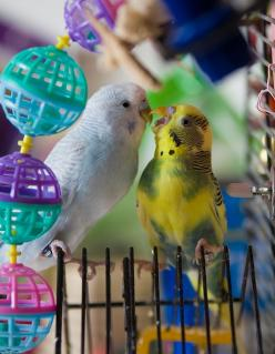 Budgie love: Budgies Forever, Budgies 3, Budgies Love, Beautiful Budgies, Parakeet Budgies, Budgie Parakeet Power, Budgies Parakeet, Budgies Rule