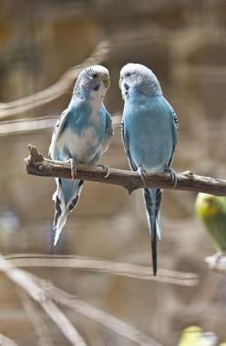 Budgies  I love the violet coloured budgies. They can all be taught to speak. Just a delight for children.: Coloured Budgies, Budgie Parakeets, Budgie Birds, Budgies Bird, Blue Parakeet, Budgies Parakeet, Blue Birds