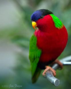 COLLARED LORY (Vini solitarius) - AKA the Fijian lory in honor of the island archipelago where it is endemic. Lories consume nectar and act as pollinators. Lories have a brush on the tip of their tongue that helps them collect nectar. This gorgeous bird&#
