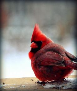 Come now, and let us reason together, saith the LORD: though your sins be as scarlet, they shall be as white as snow; though they be red like crimson, they shall be as wool. Isaiah 1:18: Birdie Birds, Cardinal Birds, Angry Birds, Bird Birdie, Red Birds, A