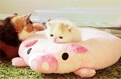 Comforting the little one: Babies, Post, Animals Funny, Adorable Animals, Kitten Gif, Adorable Kitten, Petting Baby, Baby Cat