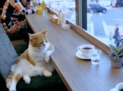 Cool Cat #cat #kitty: Cats, Animals, Funny Cat, Coffee, Funny Animal, Morning, Gif