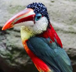 Curl-crested Aracari | It almost looks like the colors of an American Flag...Red, White and Blue!: Exotic Birds, Curls, Toucan, Beautiful Birds, Animal, Amazon Basin