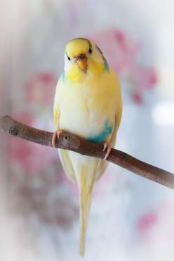 Darling Merry, said the pinner. It brought tears to my eyes because it reminded me of our dear departed Bird Boy. Oh, he was such a bright, smart little fellow and we loved him dearly. We were his flock and he was our darlin birdie.: Merry Rip, Pastel, Pa