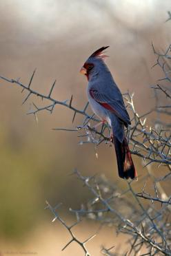 Desert Cardinal on thorny branch......so beautiful and different than the Northern Cardinal!: Birdie, Cardinal Birds, Deserts, Birds Cardinals
