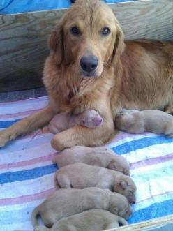Dogs and puppies: Puppies, Animals, Dogs, Golden Retrievers, Pet, Puppys, Baby, Mom, Golden Retriever