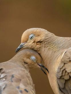 Doves: Pigeon, Animals, Jon Rista, Lovey Dovey, Nature, Morning Doves, Mourning Doves, Beautiful Birds