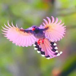 espectacular.: Animals, Nature, Taiwan Blue, Pink, Beautiful Birds