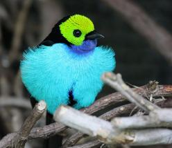 exotic birds | The Green Lantern of the Animal Kingdom – The Paradise Tanager ~ The ...: Colorful Birds, Animals, Nature, Colors, Beautiful Birds