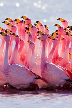 Flamingo Mating Dance. Click through to watch the dance on video. Very cool.: Animals, Pink Flamingos, Nature, Color, Beautiful, James S Flamingo, Birds