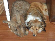 Flemish Giant Rabbits: Animals, Friends, Dogs, Rabbits, Pets, Flemish Giants, Flemish Giant Rabbit, Bunnies