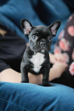 French Bulldog Puppy !!! #dog #cute: Animals, French Bulldogs, Frenchbulldogs, Puppys, Cute French Bulldog, French Bulldog Puppies