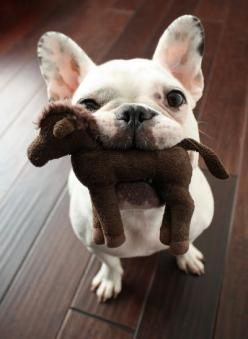 frenchie adorableness: Animals, French Bulldogs, Pet, Horse, Frenchbulldog, Play, Puppy, Frenchie, Friend