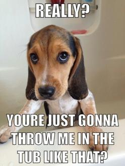 Funny beagle picture/ quote: Funny Animals, Beagle Mania, Animals Amanda, Beautiful Beagles, Bathes Funny, Animals Board, Beagle Picture, Funny Beagles