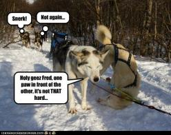 Funny Husky Pictures with Captions   ... husky - Page 5 - Loldogs n Cute Puppies - funny dog pictures: Funny Husky, Animals, Funny Things, Funny Dogs, Funny Stuff, Funny Dog Pictures, Funny Animal