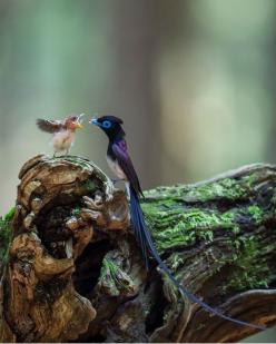 Funny Wildlife, denoontje-blog: eyesfornature: Paradise in the...: Animals, Birdie, Beautiful Birds, Bird Of Paradise, Japanese Paradise