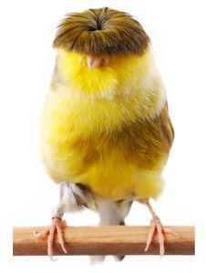 Gloster's Fancy Canary    nature's cutest little punk rocker ~ stunningly adorable!!! (ava note: he looks a little like the fifth Beatle lol): Gloster S Fancy, Canary Bad, Bad Hair, Gloster Canary, Beautiful Birds, Fancy Canary