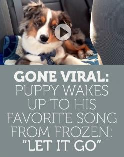 GONE VIRAL: Wakes Up To His FAVORITE Song From Frozen Let It Go!: Doggie, Dogs, Aussies, Funny Puppy, Funny Dog Video, Dog Videos, Animal Face, Puppy Wakes