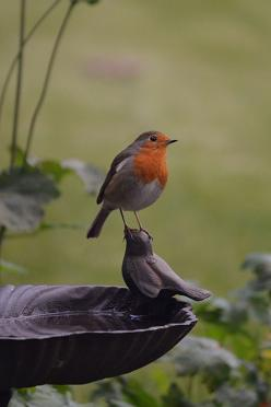 great bird photo: English Robin, Sitting Pretty, Red Breast, Beautiful Birds, Animal