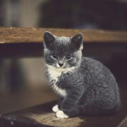 Grey and white kitties always have a special place in my ❤️.: Cats, Kitty Cat, Animals, Meow, Pets, Kitty Kitty, Kittens, Kitties, Cat Lady