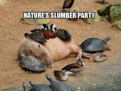 Hahaha!!!!!!!!!!!!!!!!@@@@@@@@@@@@@@@     Dump A Day Funny Pictures Of The Day - 78 Pics: Picture, Animals, Nature, Creatures, Funny, Animal Friends, Capybara, Turtle, Photo