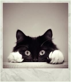 @Heather Hutchison   doesn't this look like Spider?! :): Kitty Cats, Meow, Adorable, Things, Animals Cats, Peekaboo, Cats Kittens, Peek A Boo, Black Cats Faces