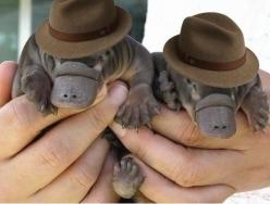 Here are two baby platypuses wearing fedoras.: Wearing Fedoras, It S Perry, Babies, Baby Perry, Baby Animals, Has, Platypuses Wearing, Perry The Platypus