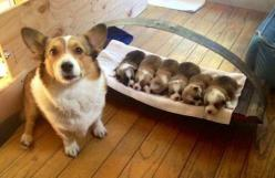 http://www.tumblr.com/: Corgis, Animals, Puppies, Dogs, Pets, Puppys, Adorable, Funny Animal