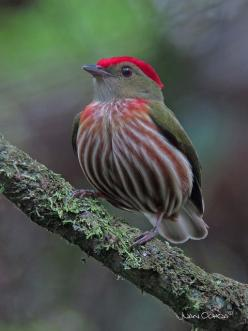 I ❤ birds . . . Striped Manakin (male) - Machaeropterus regulus. Striped Manakin is an inconspicuous South American bird of forest understory; it apparently does not have much of a display, & its song is quiet and easily overlooked. The male has a red