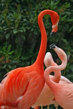 I love flamingos, have since i was a little girl...they are so beautiful and if you watch them with other birds they are fierce and clearly make it known they rule. I love how what they eat is what produces the great color: Flamenco, Pink Flamingos, Beaut