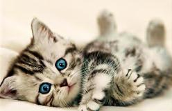 I may be allergic but that doesn't mean it's not the cutest little kitten!: Cats, Blueeyes, Kitty Cat, Animals, Adorable Kittens, Pet, Blue Eyes, Baby, Cute Kittens