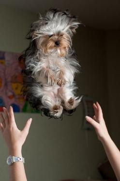 I think it's a yorkie.: Animals, Dogs, D Awwww, Pets, Fluffy Baby, Adorable, Puppy, Friend