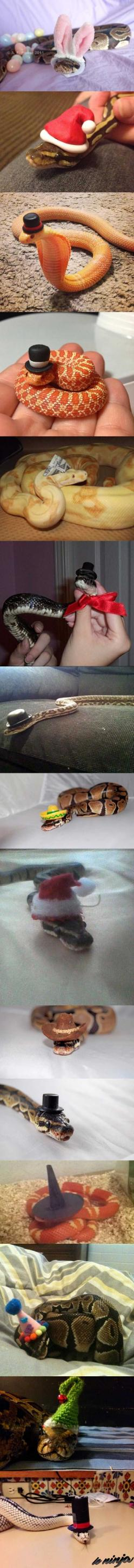 Idk why, but snake are so much less intimidating with hats on.: Reptiles Snakes, Pet Snake, Adorable Snakes, Snakes In Hats, Animals Snakes, Google Snakes, Costumed Snakes I, Fancy Snakes