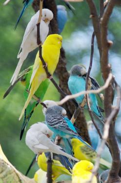 If you are thinking about getting a pet. You should pick parakeets. Thay are awesome pets. Thay are easy to clean up after. Thay are beautiful. Thay fun to play with. And thay so loving and sweet <3: Exotic Birds, Birds Photo S, Google, Excellent Songb