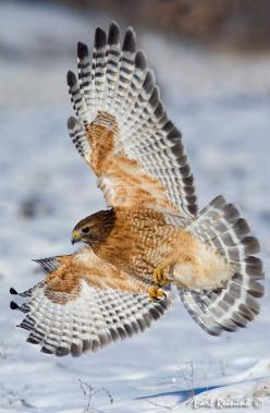 """In order to see birds it is necessary to become a part of the silence.""""  ― Robert Lynd: Falcons Hawks, Hawk Birdsofprey, Hawks Birds, Birds Hawks, Beautiful Birds, Red Shouldered Hawk, Birds Species Hawks, Falcons Owls Eagles Hawks, Animal"""