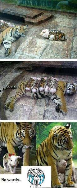 just aw: Tiger Piglets, Mother Tiger, Tiger Pigs, Health Declined, Baby Animals, Awwwww These