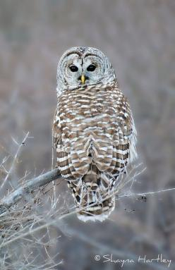 Looking Back by Shayna Hartley on Flickr.: Owl Birdsofprey, Animal Eyes, Barred Owl They Re, Wild Animals, Animal Owl, Barred Owl Wow, Barred Owls