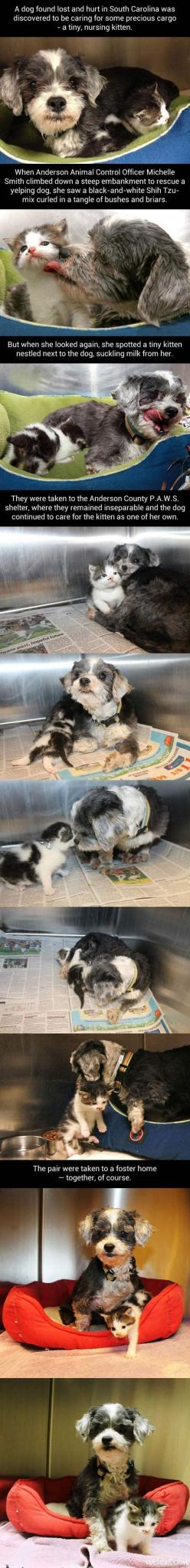 Lost dog finds little kitten and saves her…: Dog Finds, Cat, Dogs, My Heart, Kittens, Shih Tzu, Animal Stories