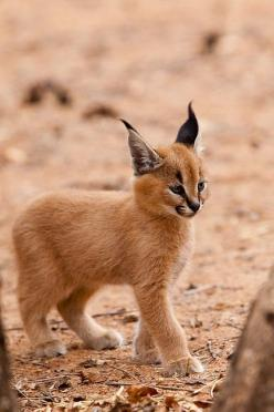 Lynx are like the elves of the feline world: Babies, Baby Lynx, Big Cats, Baby Animals, Wild Cats, Kittens, Baby Caracal, Bigcat