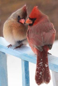 .Male and Female Cardinals.... we have a pair like these that visit every day.... beautiful: Animals, Female Cardinal, Beautiful Birds, Cardinal Couple, Favorite Bird, Red Birds, Cardinals