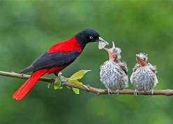maroon oriole and baby maroon orioles: Babies, Nature, Maroon Oriole, Poultry, Pretty Birds, Beautiful Birds, Animals Birds