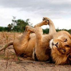 My babies did this too, but they weren't full grown!~Playful Lion, Beautiful Animal Photography, Wildlife: Animals, Big Cats, Happy Baby, Creature, Bigcats, Play, Funny, Lions, Kitty