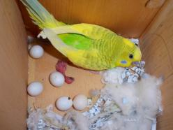 my baby Parakeets: Parakeet Persons, Budgies, Furry Feathered Friends, Fine Feathered, Parakeet Addiction, Baby Parakeets