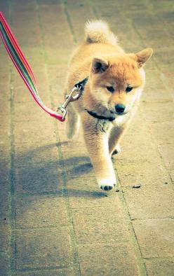 my new favorite type of dog.   note: I did not have a favorite previously!   Shiba inu pup <3 love.: Animals, Walks, Love Shiba Dogs, Creatures, Shiba Inu S, Puppys, Things, Shibainu Shiba, Photo