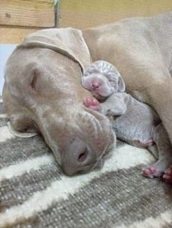 nothing like cuddles with Mama: Weimaraner, Animals, Sweet, Dogs, Mother, Pet, Puppy, Baby, Mom