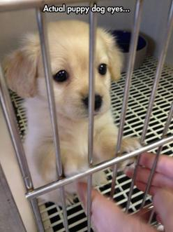 OMG!!!! I can't stop staring!!! <3 I'd buy this puppy in a second!: Puppies, Animals, Dogs, Puppy Dog Eyes, Pet, Actual Puppy, Puppys, Puppy Eyes