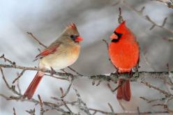 Pair of Northern Cardinal in a tree.: Animals, Northern Cardinals, Nature, Cardinal Birds, Beautiful Birds, Beautiful Cardinal