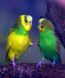 Parakeet | Flickr - Photo Sharing!: Sweet Parakeets, Birds ️, Animals Birds, Budgies Parakeet, 01 Budgies